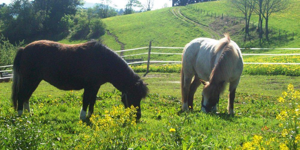 2. Ponys auf der Weide